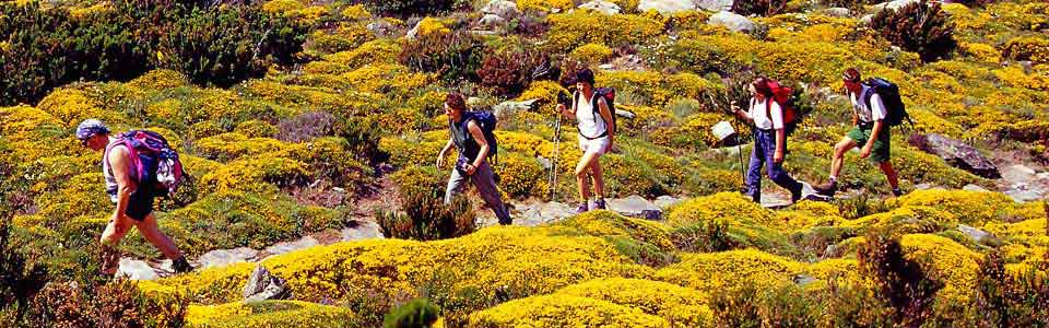trekking tra le ginestre in fiore dell'Elba occidentale